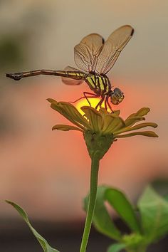 sunset dragonfly by beautiful amazing