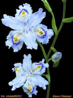 Iris cristata [Explore - Apr 29,2011] | Flickr - Photo Sharing!