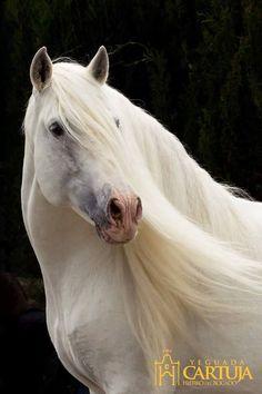 "scarlettjane22: ""  Lola Fernadez Purebred Spanish Horse (PRE) """