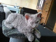 look at this wooly little guy.  Selkirk Rex kitten - he kinda looks grumpy!