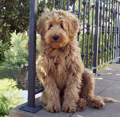 Labradoodle....cutest thing I've ever seen. Yellow Lab/poodle mix.  Big Dog, no shedding =perfection.  Saw one in Downtown Orlando the other day and fell in love<3