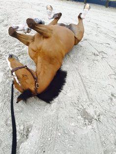 diaryofaworkingstudent: Scott Brash's Guv'nor enjoying the Miami sand!! LGCT - Miami