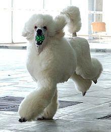 Snow White poodle