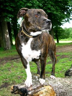 Staffordshire Bull Terrier, Chip.