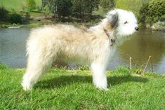 39 best Smithfield Cattle Dogs images | Smithfield dog