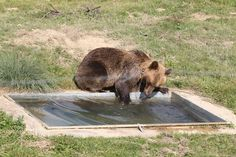 'Saddest Bear In Europe' Is Rescued And Runs Free On Grass For First Time