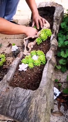 A piece of driftwood is hollowed to make a beautiful succulent planter It can be displayed indoors on a table or outdoors as part of your garden display plant succulent succulents garden planting garden decor # Succulent Gardening, Cacti And Succulents, Planting Succulents, Container Gardening, Cactus Plants, Succulent Rock Garden, Mini Cactus Garden, Succulent Frame, Indoor Cactus