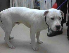 FINAL DAY Mon 4/14 Harris County Shelter Houston TX male pit mix - rescue only http://www.petharbor.com/pet.asp?uaid=HRRS.A403339 For more information about this animal, call: Harris County Public Health and Environmental Services at (281) 999-3191