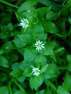GWIAZDNICA POSPOLITA Stellaria media  [ang: common chickweed, fr: alsine, niem: Vogel-Sternmiere] Minnesota Wild, Growing Flowers, Lawn, Herbs, Wallpaper, Plants, Gardening, Cooking, Beauty