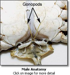 Sexual anatomy of male blue crab