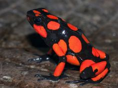 Harlequin Poison Dart Frogs, Oophaga histrionica, Oophaga sylvatica by brandie Funny Frogs, Cute Frogs, Reptiles And Amphibians, Mammals, Beautiful Creatures, Animals Beautiful, Frosch Illustration, Animals And Pets, Cute Animals