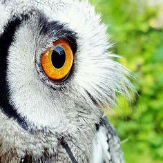Beautiful great photo   Credit : @juno_the_scops_owl -  I spy with my orange eye.. #owl #owls #owllove