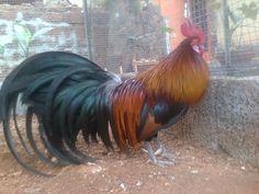 Phoenix chicken Chicken Breeds, Hens, Phoenix, Birds, Roosters, Raising, Paradise, Animals, Fancy
