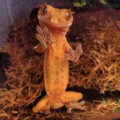 Is a pet crested gecko in your future?Is a pet crested gecko in your future? Learn everything you need about crested gecko terrarium size and the pros/cons of cohabitation at ReptiFiles! Crested Gecko Habitat, Crested Gecko Care, Crested Gecko Vivarium, Cute Lizard, Cute Gecko, Leopard Gecko Cute, Cute Reptiles, Reptiles And Amphibians, Funny Lizards