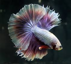 Image result for betta image