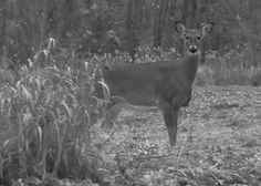 . . . yes a deer, a deer staring right at me!   Flickr - Photo Sharing!