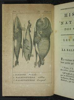 Baleine and Baleinoptere. Histoire naturelle des cétacées T.1 Paris :Didot,1809 Biodiversitylibrary. Biodivlibrary. BHL. Biodiversity Heritage Library