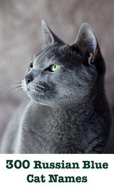 Russian Blue Cat Names – 300 Brilliant Russian Cat Name Ideas 300 Russian Blue Cat Names Grey Cat Names, Blue Names, Grey Kitten, Grey Cats, Russian Blue Kitten, Chartreux Cat, Orange Cats, Fluffy Cat, Pet Names
