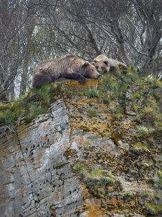 A brown bear mother and her cub lie precariously on the edge of a cliff overlooking Hallo Bay, Katmai National Park, Alaska