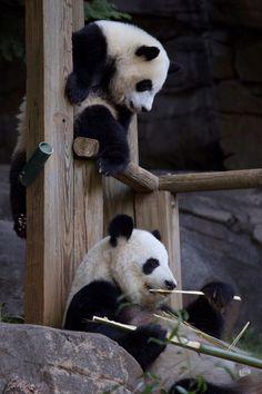 Panda Mom and one of the twins at Zoo Atlanta ~ October 2014
