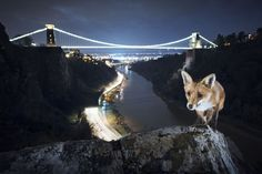 """Bristol Fox"". ""At this recognisable landmark in front of the Clifton suspension bridge I found a secluded spot where teenagers like to hang out and local foxes would come to look for leftovers. One night, I was setting up my camera in the early evening and a fox came out of the shadows. It came straight over, looked up at me, then proceeded to try and pinch something from my open camera bag. After that, it walked up this small ridge and I saw the picture I wanted to capture. It took about…"