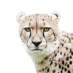 Danish photographer Morten Koldby doesn't take typical animal portraits. His ongoing series explores how animals' facial expressions often resemble those Beautiful Cats, Animals Beautiful, Cute Animals, Cheetahs, Mundo Animal, Animal Faces, Belle Photo, Big Cats, Animal Drawings