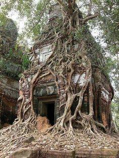 Koh Ker Tower Tree, Cambodia