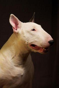 Bull Terrier - BRAVO Light of my Life | BullyStar