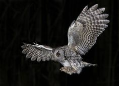 Eastern Screech Owl by Thomas Muir, via Flickr