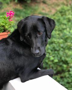 Posa #morgana #labrador #blacklab #lab #dog #cane #pet #nofilter