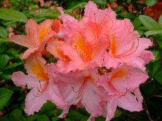 https://flic.kr/p/Efuaob   Rhododendron   www.youtube.com/user/yewmchan/videos
