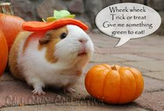How guinea pigs go trick or treating. Peaches wheeks for greens instead of Halloween candy!