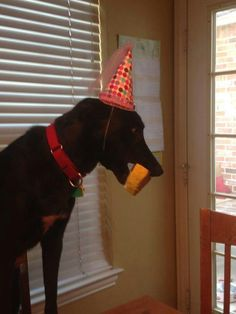 """""""I met Hera after she was surrendered to GALT Jan 8. She smiled and wagged and let me know I was her person. She has been the most amazing dog family member, ever. We declared her birthday is officially her DOB since she brings so much sunshine! She was thrilled about her 3 Dogs bakery birthday cake and first fancy collar from 2 hounds."""""""