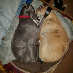 My 2 whippets sleeping. Greyhound Art, Italian Greyhound, Most Beautiful Dog Breeds, Beautiful Dogs, Animals And Pets, Cute Animals, Greyhound Pictures, Dog Expressions, Hound Breeds