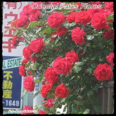 Um sonho de amor | Oriental Fotos Flores