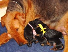 """SPRING 2015 """"Good Job Ruthie""""  - ROCK RANCH FAMILY AIREDALES"""