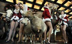 """Um burro, dois carneiros e três camelos posam com as Rockettes em frente ao Radio City Music Hall no primeiro dia de ensaios para o """"Radio City Christmas Spectacular"""" em seu papel de estreia na representação do nascimento de Jesus."""
