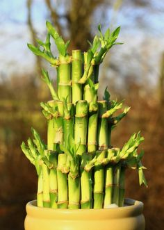 Lucky bamboo meanings, plant care, and more gardening tips.