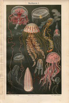 Jellyfish illustrated
