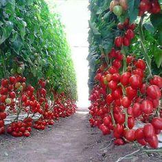 Что запрещено делать при выращивании помидоров? | Дачный каприз | Яндекс Дзен