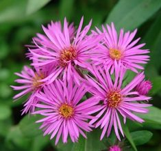 Aster novae-angliae 'Vibrant Dome' PP19538 (New England aster) - Perennial - Zones 3-8, Height 15-20 in. Also known as Symphyotrichum novae-angliae. Vibrant hot-pink flowers with yellow center accents adorn lance-shaped green foliage through autumn. Exhibits a compact, mounding habit and proven mildew resistance. Reaching between 15 and 20 inches, 'Vibrant Dome' performs best in fertile, well-drained soil in full sun to part shade. A beautiful performer for late season color.