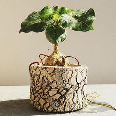 暴れる根 #Ficus #abutilifolia #caudex #コーデックス #plants #植物