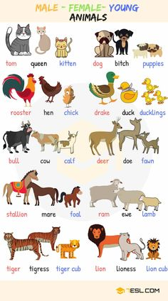 Baby Animal Names! What are the names of baby animals and their parents in English? Learn these young, male and female animal names with ESL pictures to increase your vocabulary words in English. English Verbs, English Vocabulary Words, English Phrases, English Writing, English Study, English Grammar, Learn English, English Posters, Learn French