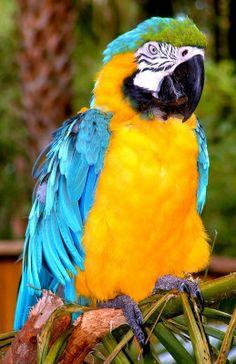 Majestic Macaw - ©Joseph Gillette (via ArtistRising)