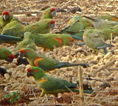 Red-fronted Macaws - not your everyday shot