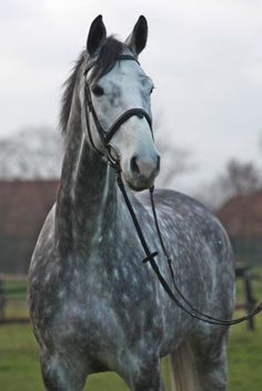 Dapple Grey thoroughbred