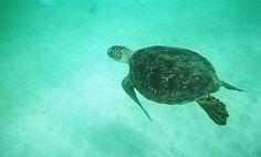 Tartaruga marinha  -   Parque Nacional Marinho de Fernando de Noronha