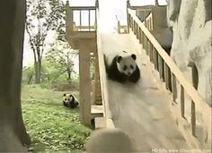 Panda Panda I Got Broads In Atlanta Funny Gif #6351 - Funny Panda Gifs  Funny Gifs  Panda Gifs