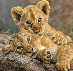 Play time for lion cubs Big Cats, Cats And Kittens, Cute Cats, Nature Animals, Animals And Pets, Wild Animals, Beautiful Cats, Animals Beautiful, Beautiful Places