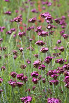Dianthus carthusianorum; this could provide a pretty screen at the top of the retaining wall.